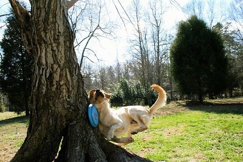 Vedder the Yellow Lab running into a tree trying to catch a blue Frisbee