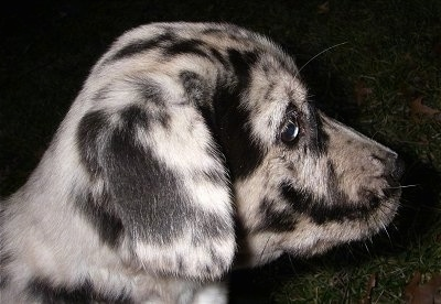 Right Profile head shot - A white and black with tan merle Labradinger puppy is sitting outside in grass at night.