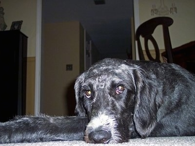 A short-coated black with white Labradoodle is laying down on a carpet inside of a dining room with a table and chair behind it.
