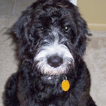 A wavy-looking black with white Labradoodle is sitting on a tan carpet and looking up. It has a yellow dog tag hanging from its collar.