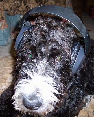 Close Up - a wavy-looking black with white Labradoodle is laying on a carpet on top of a tan blanket. It is wearing headphones