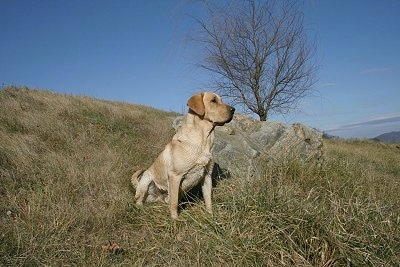 Vedder the Yellow Lab is sitting in grass next to a big rock