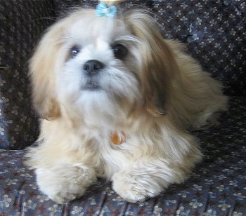 A tan with white Lhasa Apso is wearing a baby-blue bow in its top knot laying on a brown and blue couch.