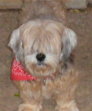 Front view - A tan with white Lhasa Apso is standing on a carpet and it is wearing a red bandana. Its hair is long on its head covering its eyes.