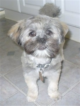 View from the front - A grey with white Lhasa Apso puppy is standing on a gray tiled floor with a white door behind it.