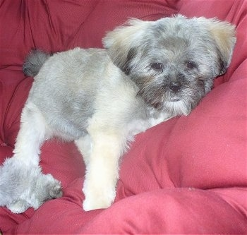 A grey with white Lhasa Apso puppy is stretched out laying on a red couch.