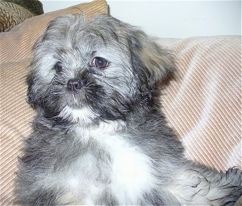 A soft looking, grey with white Lhasa Apso puppy is laying against the back of a tan couch.