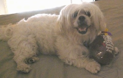 Squish, the female Lhatese (Lhasa Apso / Maltese hybrid) at 7 years old
