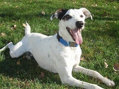 Front side view - A white with black Jack Russell Terrier/Greyhound mix is wearing a blue collar laying in grass looking up. Its mouth is open and tongue is out and its legs are spread way out in front of and behind it.