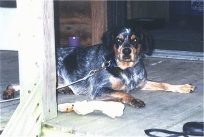 A drop-eared, merle colored, black with tan and white Cocker Spaniel/Blue Heeler mix breed dog is laying on a wooden porch looking at the camera. There is a rawhide bone next to it.
