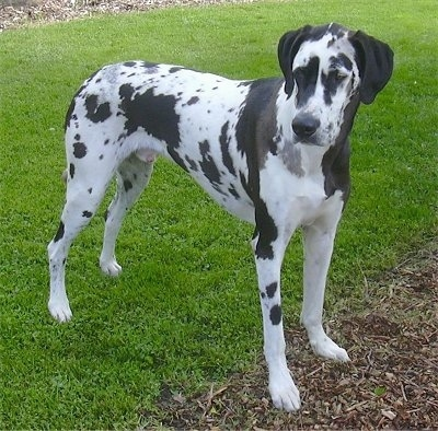 Front side view - A tall, harlequin patterned, black and white Great Dane / Dalmatian / Bullmastiff mix breed dog is standing in grass and it is looking to the left.