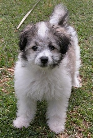Front view - A fuzzy, small, white with tan and black Maltese/Poodle mix puppy is standing outside in grass. Its tail is curled over its back.