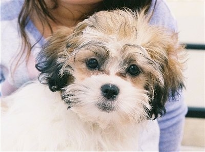 "Jimmy the Mal-Shih puppy (Maltese / Shih Tzu) at 15 weeks old— ""The"