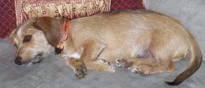A wiry-looking tan with white Mauxie dog is laying on its right side on top of a gray couch that has gold and maroon pillows next to it.