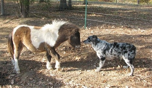 A blue merle Miniature Australian Shepherd dog is standing face to face in front of a brown and white Miniature Horse outside in dirt.