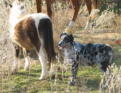 A blue merle Miniature Australian Shepherd dog is standing outside behind a brown and white paint Miniature Horse. There is a full sized horse in the distance.
