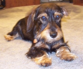 View from the front - A wiry-looking, black and tan Miniature Schnoxie dog is laying on a tan carpet looking droopy.