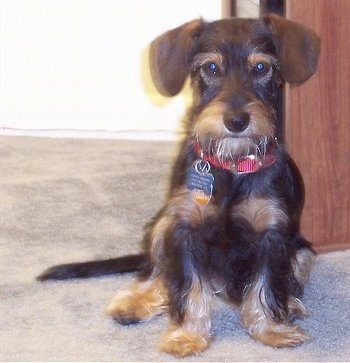 A wiry-looking, black and tan Miniature Schnoxie dog is wearing a red collar sitting on a tan carpet looking forward.