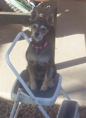 A Miniature Schnaupin mix breed dog is sitting on top of a white with black step ladder that is outside.