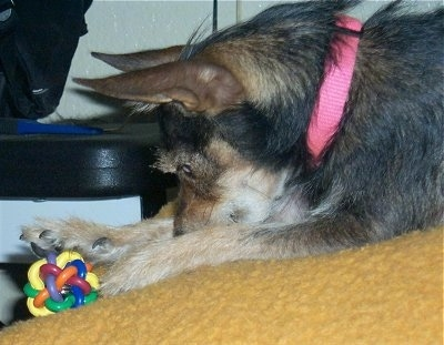 A wiry-looking black and tan dog wearing a hot pink collar is laying on a bed covered in a gold colored blanket and reaching for a colorful toy.