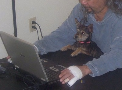 A man is using a laptop and in between him and the table there is a black with tan and white Miniature Schnaupin puppy and it is looking at the laptop. The longhaired man is wearing a blue jean shirt and has a white bandage on his hand and finger and a bandaide on another finger.