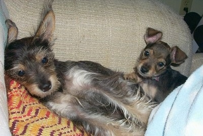 A black with tan and white Miniature Schnaupin mix breed is laying on top of a pillow on top of a tan arm chair. There is a Miniature Schnaupin puppy on its back.