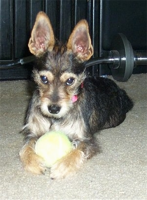 A perk-eared, wiry looking, black and tan Miniature Schnaupin mix breed is laying on a tan carpet with a tennis ball in between its front paws with a weight lifting barbell behind it.