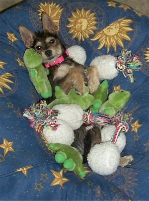 A Miniature Schnaupin mix breed dog is laying on its back on top of a dog blue bed that has yellow suns, and stars on it. There are dog toys all over the dog.