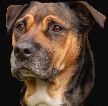 The head of a brown with black Bullmastiff/Rottweiler mix is on a composited black layer and looking forward.