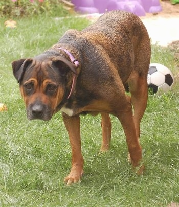 Front side view - A brown with black Bullmastiff/Rottweiler mix is walking down a grass. There is a soccer ball behind it. Its head is low and level with its body.
