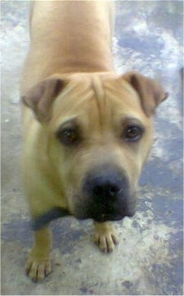 Ziggy, the male Shar-Pei / Boerboel hybrid at 7 months old