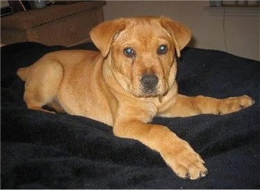 , the Chinese Shar Pei / Golden Retriever mix puppy at 11 weeks old