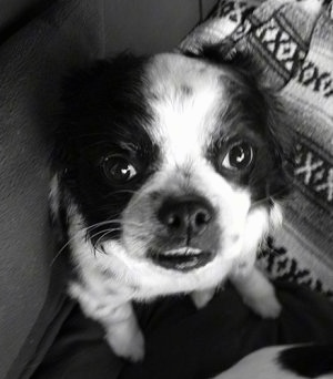 Close up head shot view from the top looking down at the dog - A black and white photo of a Japanese Chin/Cavalier King Charles Spaniel/Pekingese is sitting on a blanket looking up.