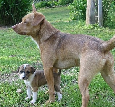 A tan with white Mountain Feist Dog is standing on grass and in front of it is a brown brindle with white puppy.