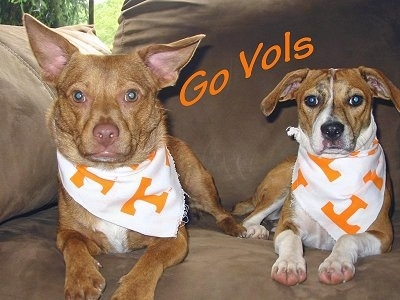 Two Mountain Feist Dogs are laying on a brown couch and they are both wearing white and orange Tennessee Volunteer bandanas