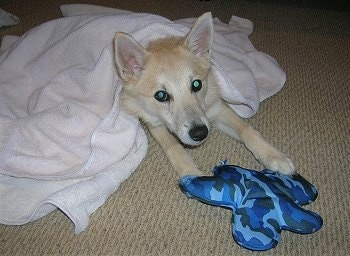 A perk-eared, tan with white Norwegian Buhund dog is laying on a tan carpet and it is covered in a white towel. There is a blue camo pillow plush toy on its front paws.