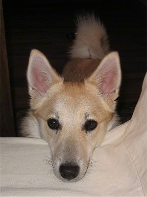 A perk-eared, tan with white Norwegian Buhund is standing on the floor with its head resting on the side of a white bed.