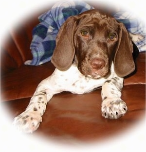 A white with brown Old Danish Chicken Dog puppy is laying on a brown leather couch looking forward. There is a blue and white plaid shirt behind it. The puppy has a wrinkly forehead and brown spots on its white legs and paws.