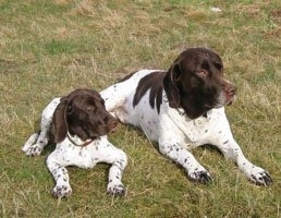 Front view of an adult dog and a puppy laying side by side in grass - A white with brown Old Danish Chicken Dog is laying next to a white with brown Old Danish Chicken dog puppy. They both are looking to the right.