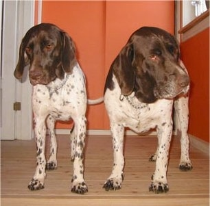 Front view - Two white with brown Old Danish Chicken Dogs are standing on a hardwood floor looking down. There is an orange wall behind them.