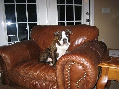 A brown brindle with white Olde English Bulldogge puppy is sitting in a brown leather arm chair looking forward.