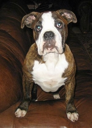 Front view - A brown brindle with white Olde English Bulldogge puppy is sitting on a brown leather chair looking forward.