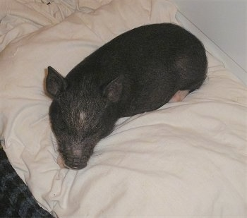 A black with pink Miniature Pig is sleeping on a pillow on top of a bed.