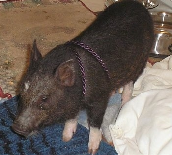 A black with pink Miniature Pig is standing on a rug and it is looking to the left.