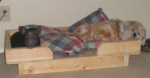 A black with pink Pig is laying in a wooden dog bed across from a tan Lhasa Apso dog.