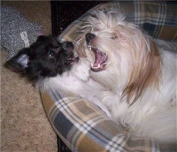 A black with white Pekingese/Terrier mix puppy is laying on its back on a dog bed and a white with tan Pekingese is biting at it. Both of their mouths are open and their teeth are showing.