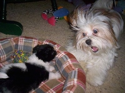 A black with white Pekingese/Terrier mix puppy is laying across a dog bed and there is a wide-eyed white and tan Papastzu barking at it.