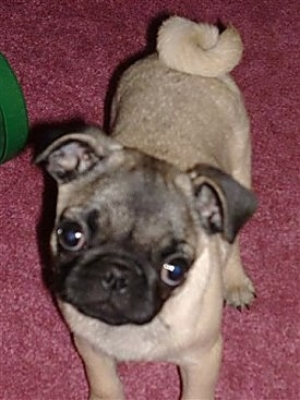 Shelby, the Pug puppy at 3 months old