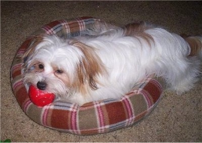 A white with red longhaired Papastzu dog is laying in a plaid red dog bed biting a red ball looking to the left.