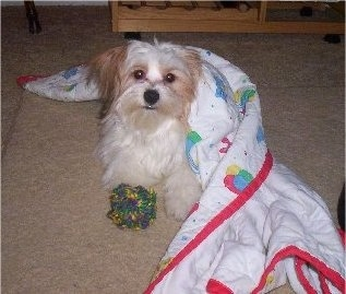 Front view - A long-haired, white with red Papastzu dog laying on a tan carpeted floor partially covered in a white blanket that has colorful red, blue, green and yellow pictures on it and a fuzzy ball toy in front of its paws. The dog is looking up and it is looking forward.
